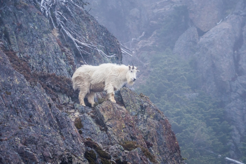 Mt Ellinor Hike And Mountain Goats - 0007