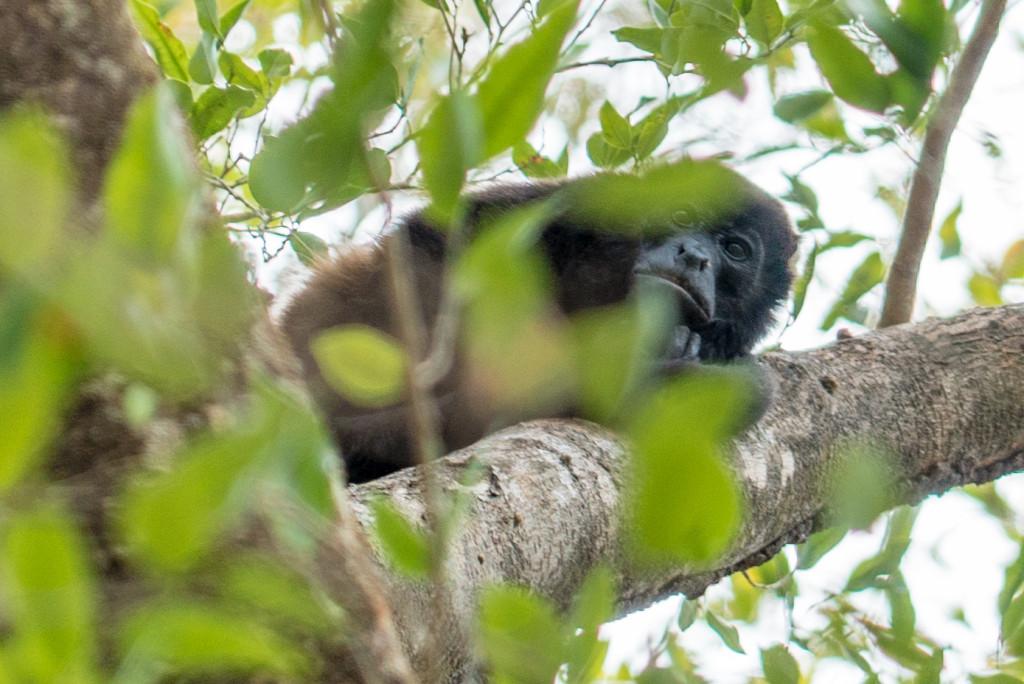 Costa Rica Monkeys Howler Monkey Palo Verde National Park