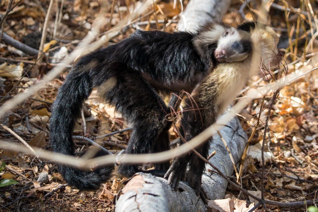 Costa Rica Monkeys White-faced Capuchin Palo Verde National Park