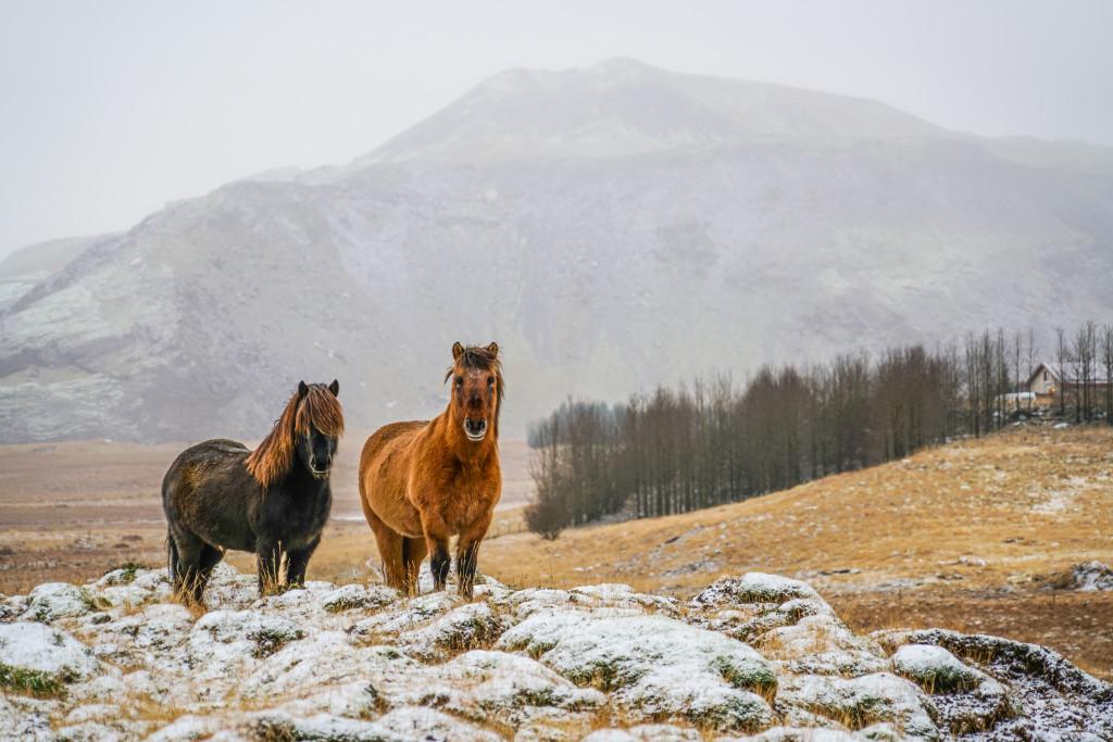 Icelandic Horses - 0014