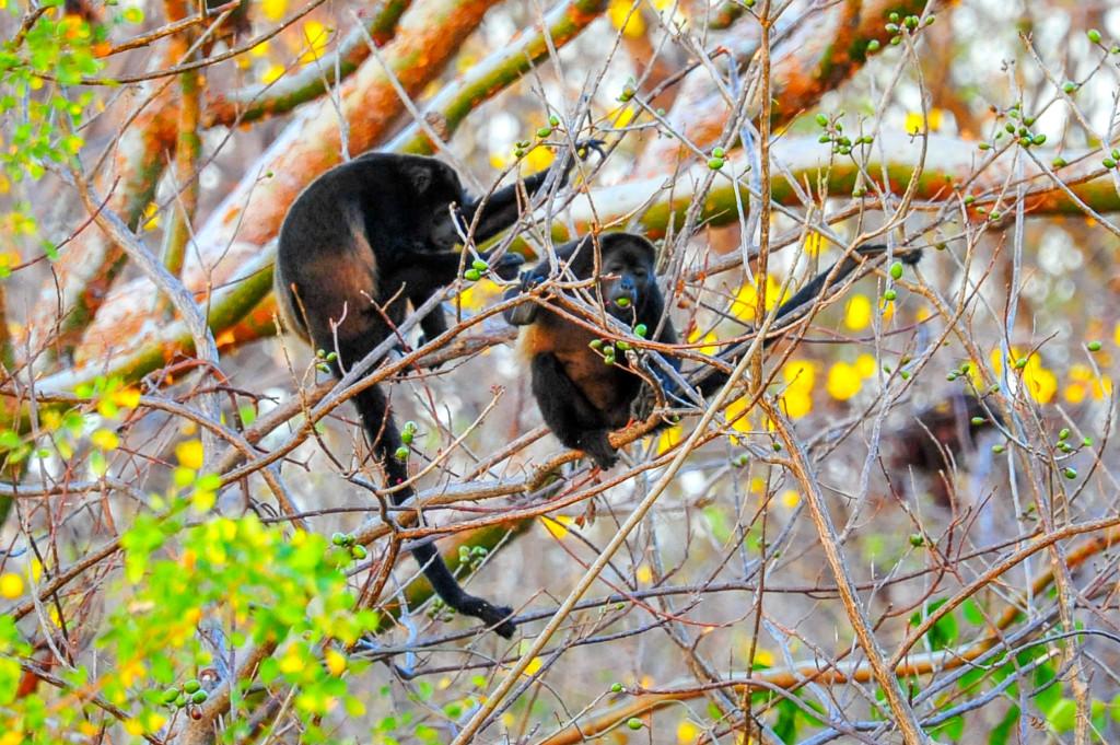 Costa Rica Monkeys Howler Monkey