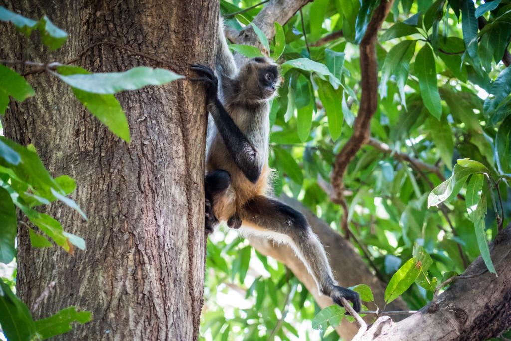 Costa Rica Monkeys Spider Monkey Palo Verde National Park