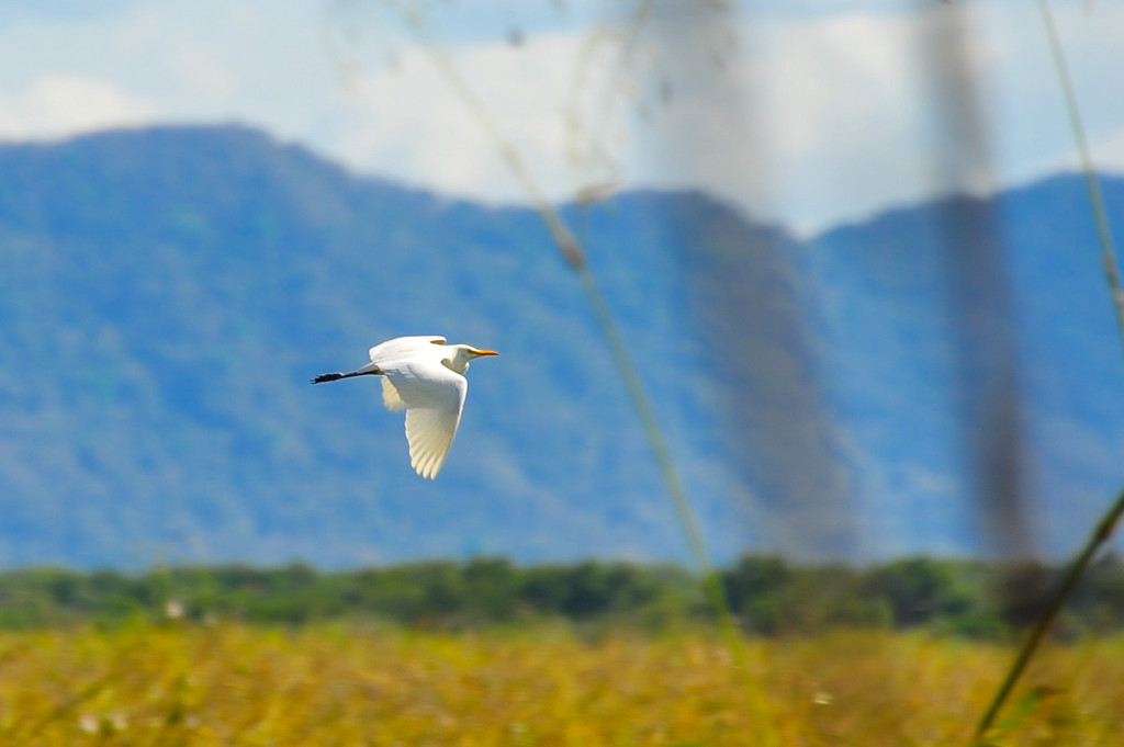 Costa Rica Birds Great Egret Palo Verde National Park Birdwatching