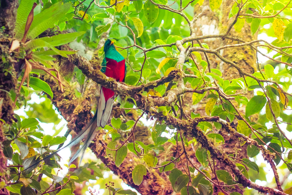 Costa Rica Birds Quetzal Male Monteverde Birdwatching