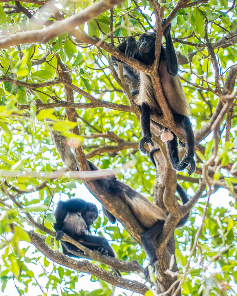Costa Rica Monkeys Howler Monkey Palo Verde National Park