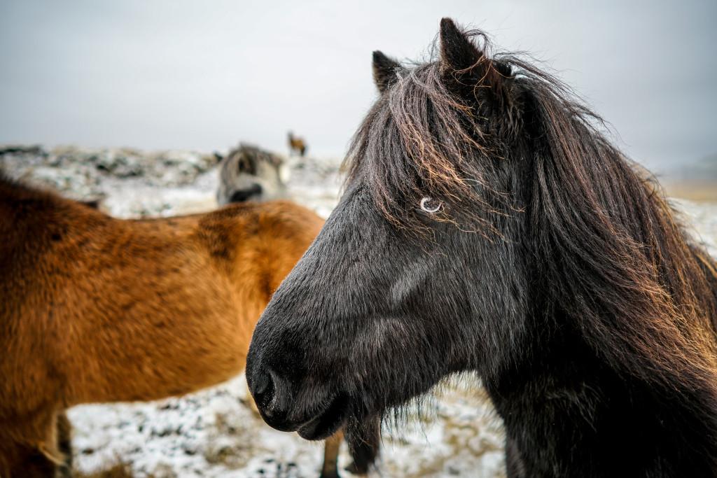 Icelandic Horses - 0002