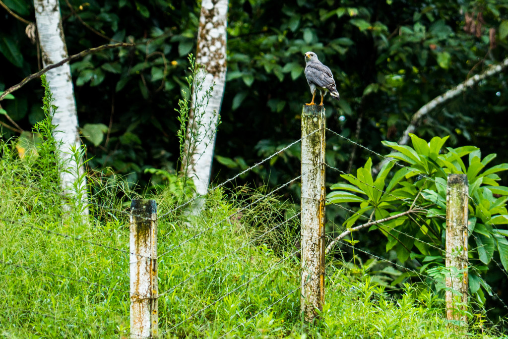 Costa Rica Birds Grey Hawk Arenal Birdwatching