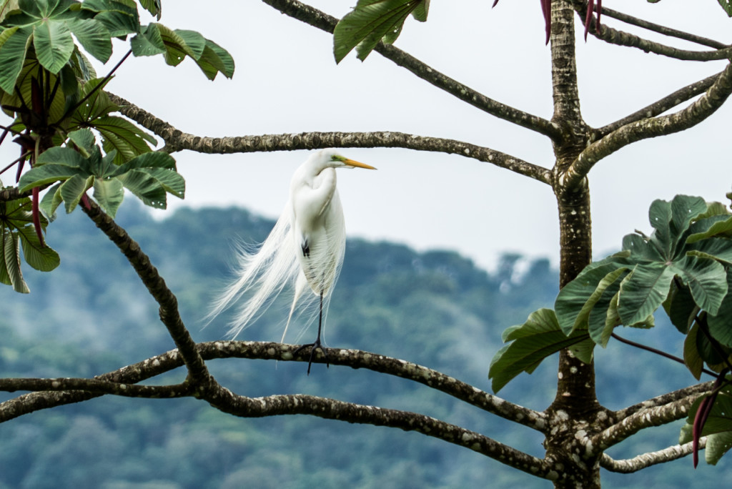 Costa Rica Birds Great Egret Arenal Birdwatching