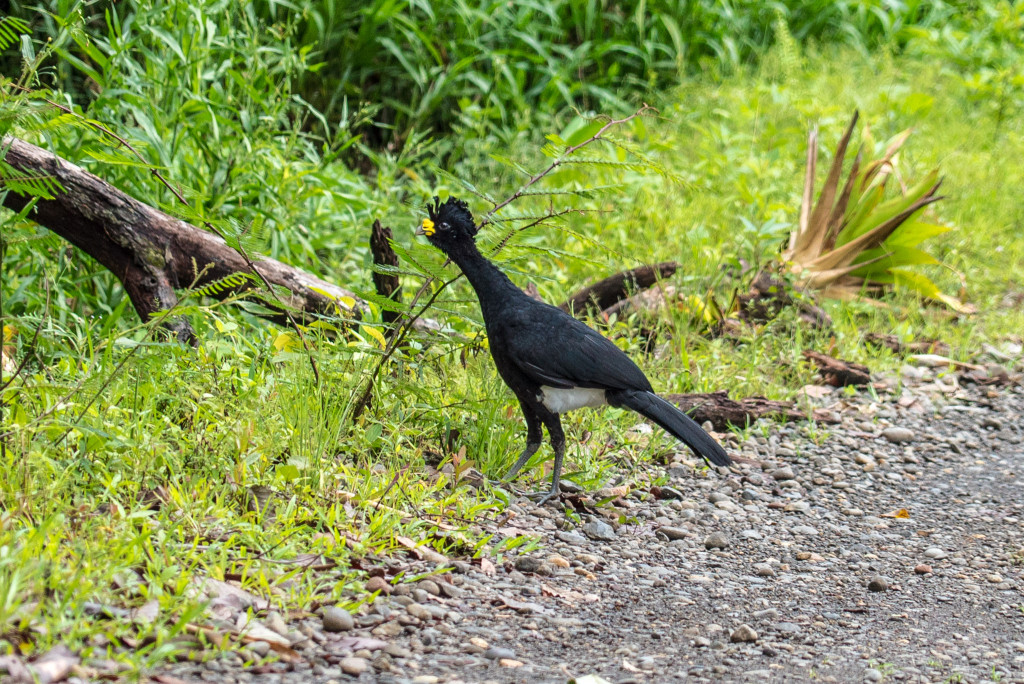 Costa Rica Birds Great Curassow Arenal Birdwatching