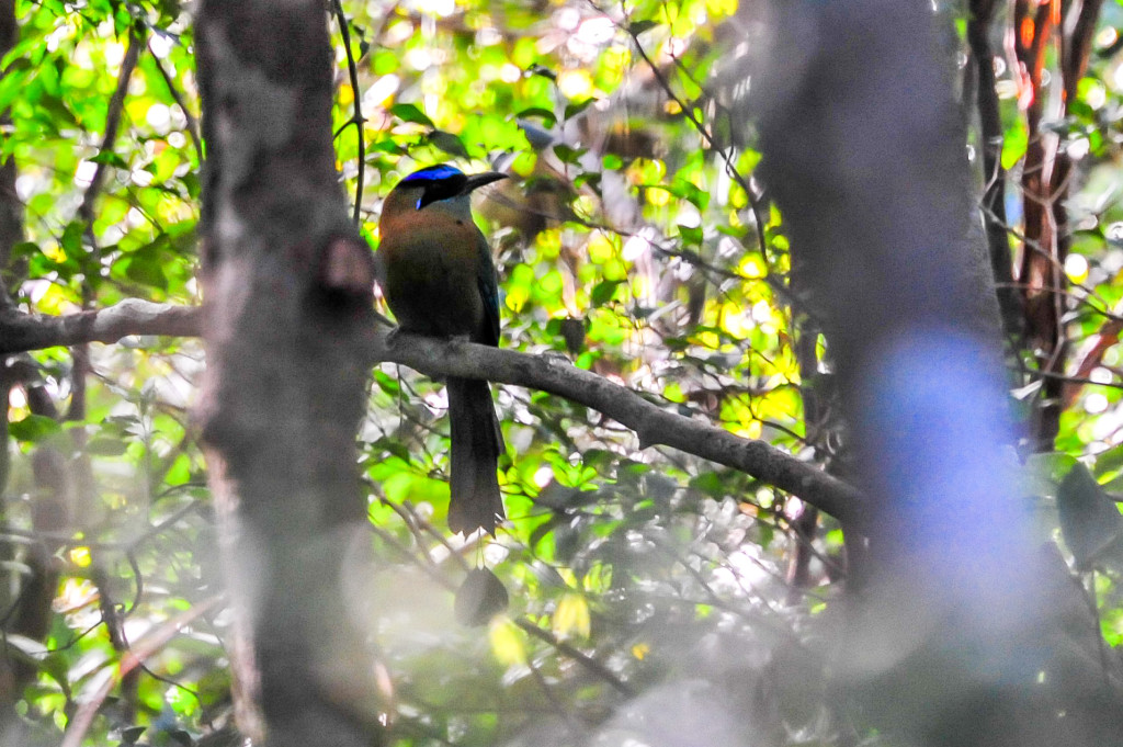 Costa Rica Birds Blue Crowned Motmot Birdwatching