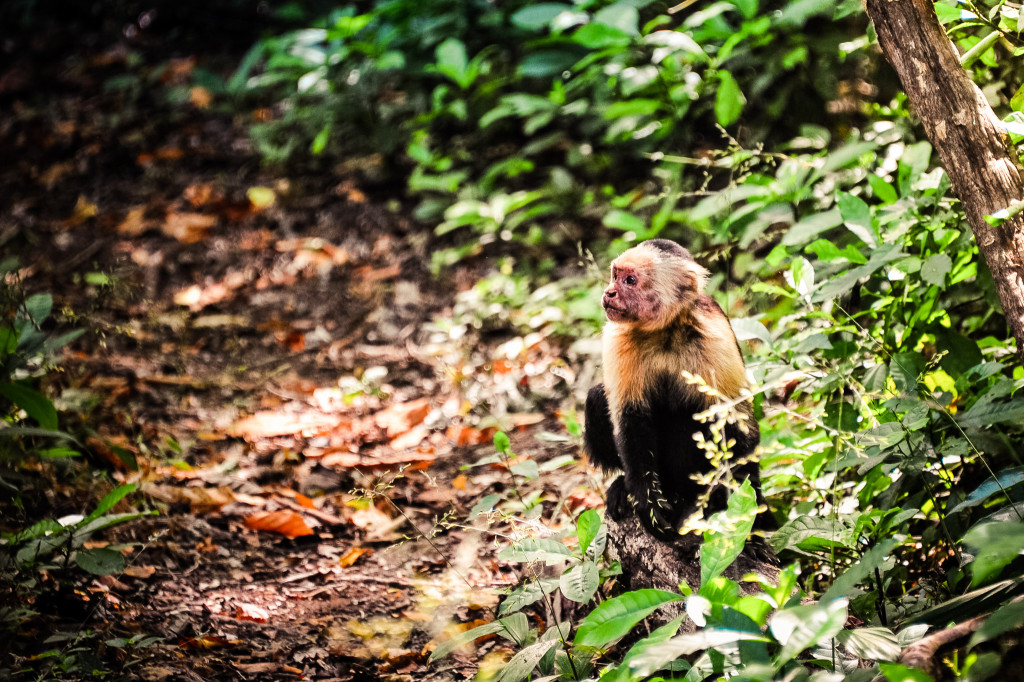 Costa Rica Monkeys White-faced Capuchin Palo Verde National Park