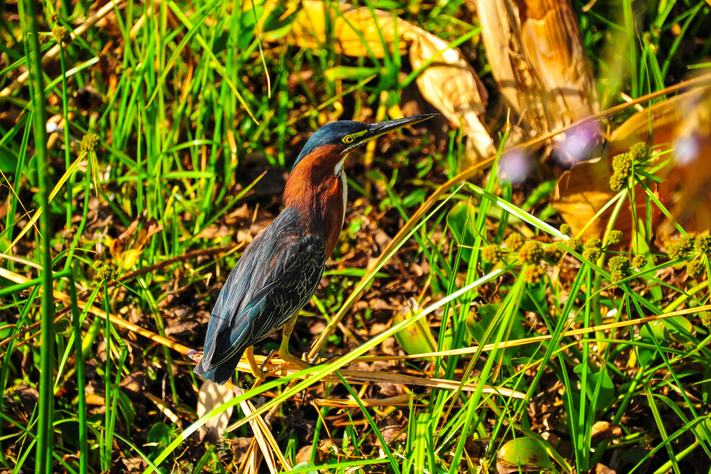 Costa Rica Birds Palo Verde National Park Green Heron Birdwatching