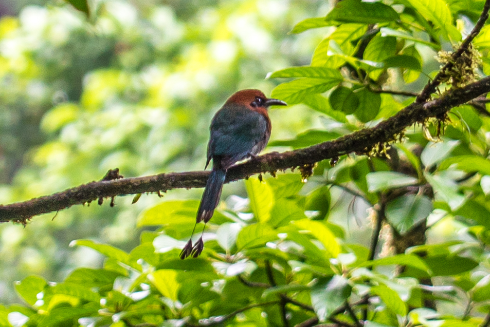 Costa Rica Birds Broad-Billed Motmot Arenal Hanging Bridges Birdwatching