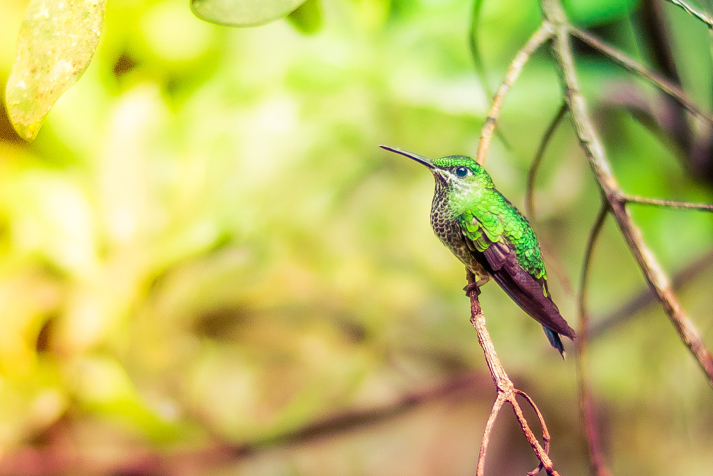 Costa Rica Birds Green-Crowned Brilliant Hummingbird Monteverde Bird Watching