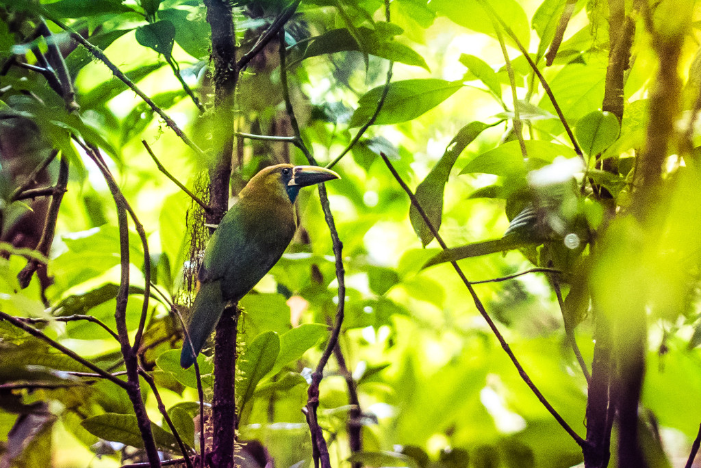 Costa Rica Birds Emerald Toucanet Toucan Monteverde Birdwatching