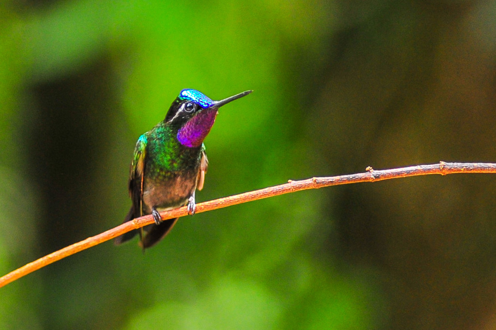 Costa Rica Birds Purple Throated Mountaingem Hummingbird Monteverde Birdwatching