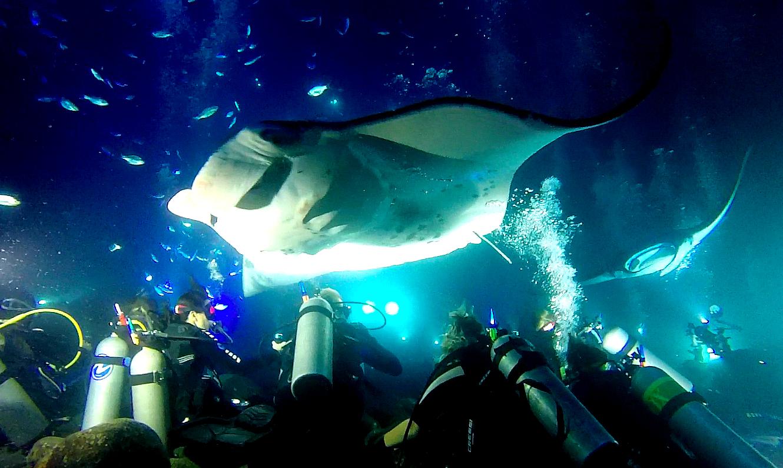 Giant Manta Rays